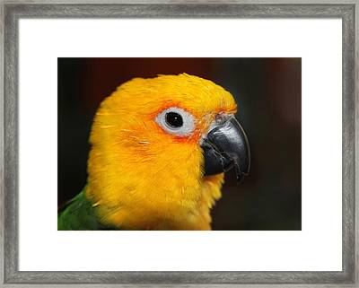 Jenday Conure Portrait Framed Print by Andrea Lazar