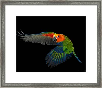Jenday In Flight Framed Print by Avian Resources