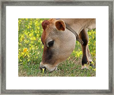 Jersey Cow Cute Close Up - Horizontal Framed Print by Gill Billington