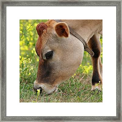 Jersey Cow  Cute Close Up - Square Framed Print by Gill Billington