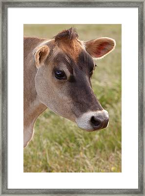 Jersey Cow Portrait Framed Print