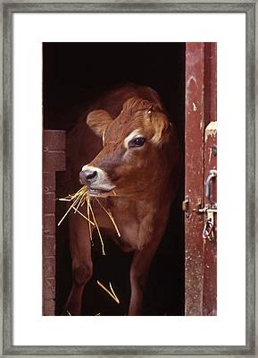 Jersey Cow Framed Print