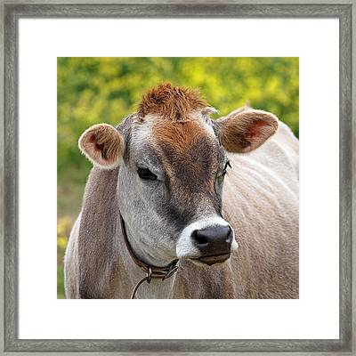 Jersey Cow With Attitude - Square Framed Print by Gill Billington
