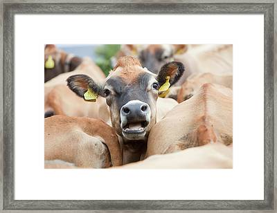 Jersey Cows On A Farm Framed Print