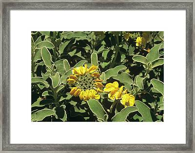 Jerusalem Sage (phlomis Fruticosa) Framed Print by Sally Mccrae Kuyper/science Photo Library