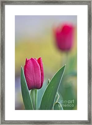Jerusalem Tulip 2 Framed Print by Joel Loftus