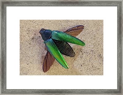 Jewel Beetle Framed Print by Dirk Wiersma