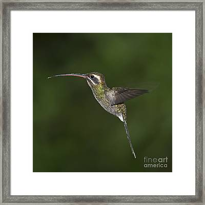 Jewel On Wings.. Framed Print by Nina Stavlund