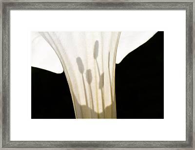 Jimsonweed Chiaroscuro Framed Print