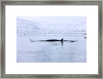 Joe Fox Fine Art - Antarctic Minke Whale Balaenoptera Bonaerensis Surfacing With Dorsal Fin In Fournier Bay Antarctica Framed Print by Joe Fox