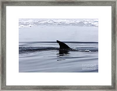 Joe Fox Fine Art - Antarctic Minke Whale Balaenoptera Bonaerensis Surfacing With Marked Dorsal Fin In Fournier Bay Antarctica Framed Print by Joe Fox