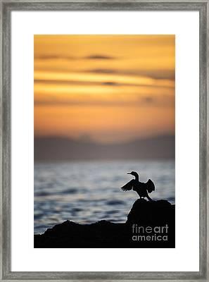 Joe Fox Fine Art - Gannet Bird Stretches Its Wings At Sunset On The Irish Coast Framed Print