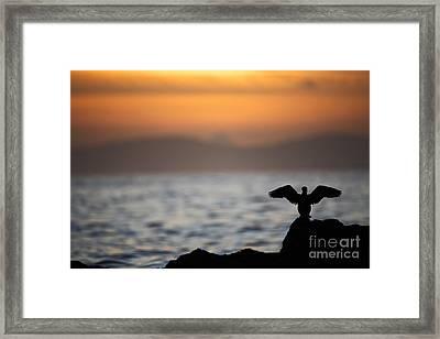 Joe Fox Fine Art - Gannet Stretches Its Wings At Sunset On The Irish Coast Framed Print