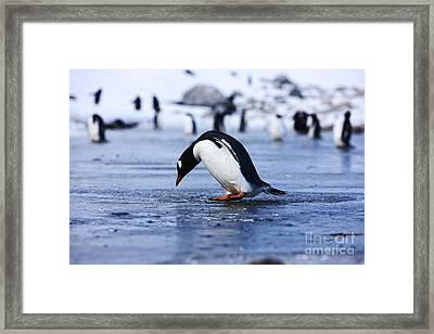 Joe Fox Fine Art - Gentoo Penguin Pygoscelis Papua Pecking At Fresh Water Ice At Neko Harbour Antarctica Framed Print