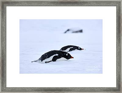 Joe Fox Fine Art - Gentoo Penguins Pygoscelis Papua Lying Down In A Blizzard At Whaler's Bay Antarctica Framed Print