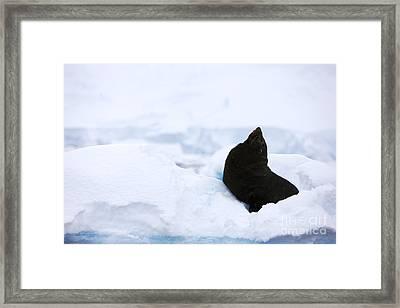 Joe Fox Fine Art - Juvenile Antarctic Fur Seal Arctocephalus Gazella Looking Up Stretching Exaggerating Size Framed Print by Joe Fox