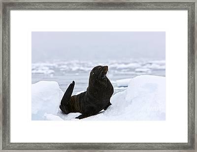 Joe Fox Fine Art - Juvenile Antarctic Fur Seal Arctocephalus Gazella Sirtting Up Floating On Iceberg Framed Print by Joe Fox