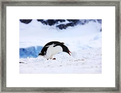Joe Fox Fine Art - Juvenile Gentoo Penguin Pygoscelis Papua Rolling Picking Up Ball Of Snow At Neko Harbour Arctowski Peninsula Antarctic Mainland Antarctica Framed Print by Joe Fox