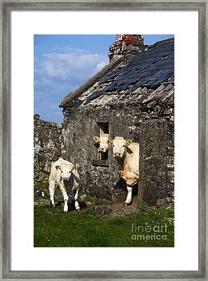 Joe Fox Fine Art - Three Charolais Beef Cattle Looking Out Of An Old Abandoned Irish Cottage In County Sligo Republic Of Ireland Framed Print by Joe Fox