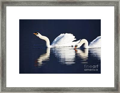 Joe Fox Fine Art - Two Swans Drinking And Swimming On A Lake In Early Morning Ireland Framed Print by Joe Fox