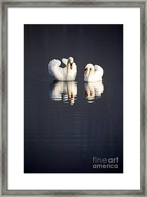 Joe Fox Fine Art - Two Swans Swimming On A Lake In Early Morning Ireland Framed Print
