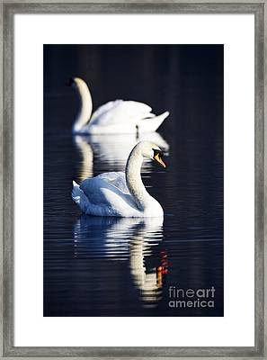 Joe Fox Fine Art - Two Swans Swimming On A Lake In Early Morning Northern Ireland Framed Print by Joe Fox