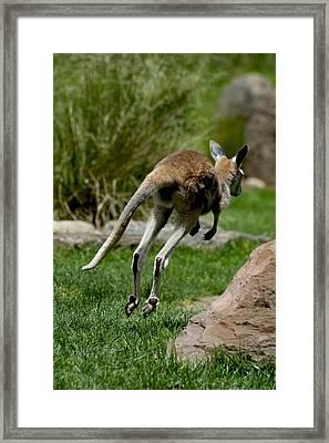 Joey On The Run Framed Print by Graham Palmer