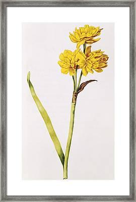 Jonquil Framed Print by Nicolas Robert