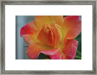 Joseph's Coat Climbing Rose Framed Print by Robyn Stacey