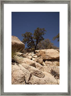 Joshua Tree Framed Print by Amanda Barcon