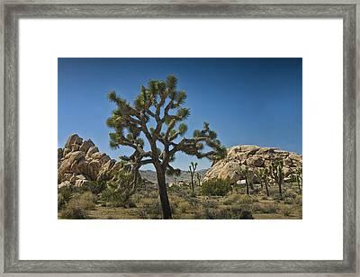 Joshua Tree In Joshua Tree National Park No. 340 Framed Print by Randall Nyhof