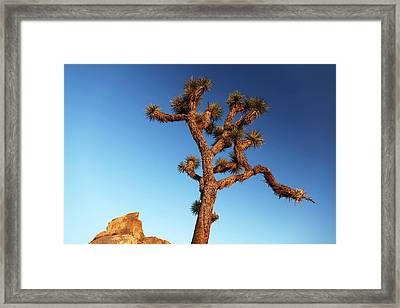Joshua Tree (yucca Brevifolia) Framed Print by Michael Szoenyi