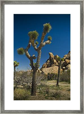 California Joshua Trees In Joshua Tree National Park By The Mojave Desert Framed Print