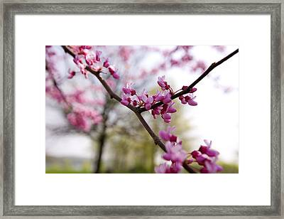 Judas Tree Blossom Framed Print by John Holloway