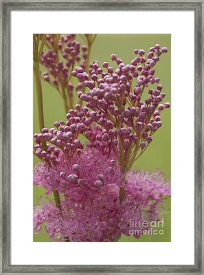 July Astilbe Framed Print