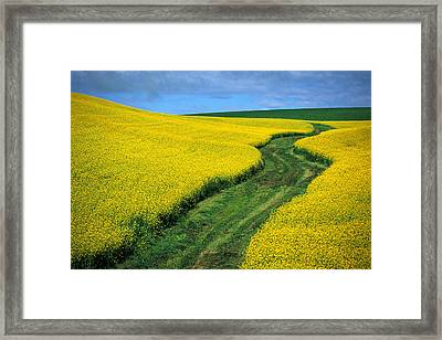 July Canola Framed Print by Latah Trail Foundation