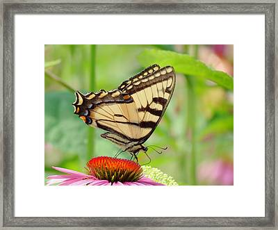 July Swallowtail Framed Print