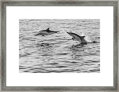 Jump For Joy - Common Dolphins Leaping. Framed Print by Jamie Pham
