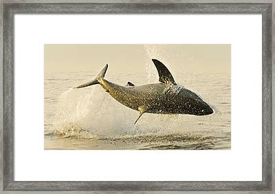 Jumping Great White No 1 Framed Print by Andy-Kim Moeller