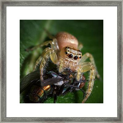Jumping Spider 3 Framed Print
