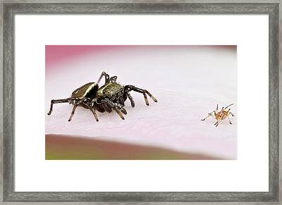 Jumping Spider And Aphid Framed Print by Nicolas Reusens