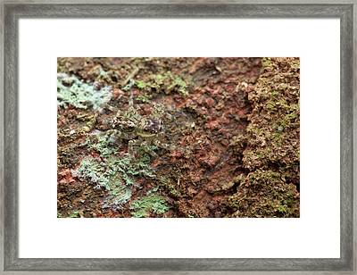 Jumping Spider Framed Print by Melvyn Yeo