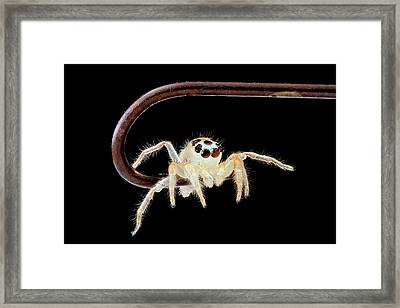 Jumping Spider On A Fish Hook Framed Print