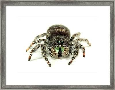 Jumping Spider Framed Print by Paul Fell