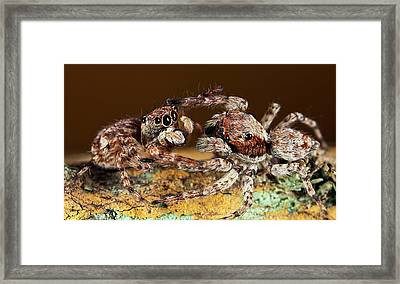 Jumping Spiders Framed Print
