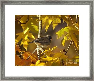 Junco In Morning Light Framed Print by Nava Thompson