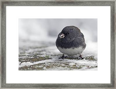 Junco In The Snow With Seeds Framed Print by Sharon Talson