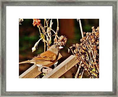 Framed Print featuring the photograph Junco Jaunt 2 by VLee Watson