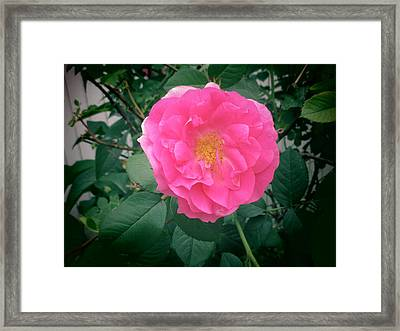 June Rose I Framed Print