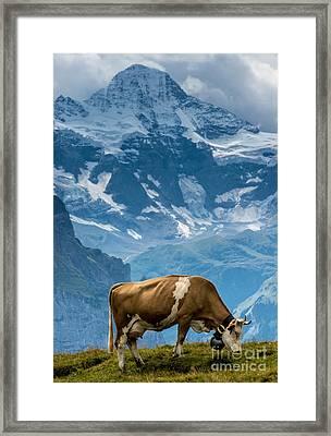 Jungfrau Cow - Grindelwald - Switzerland Framed Print